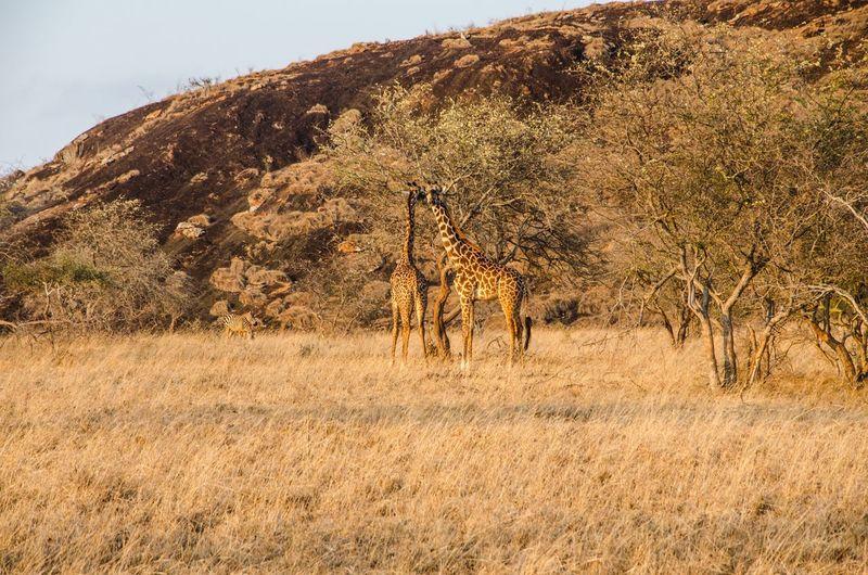 View of giraffe on field