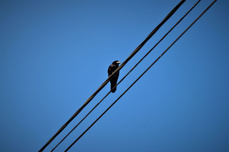Low angle view of raven perching on cable against clear sky