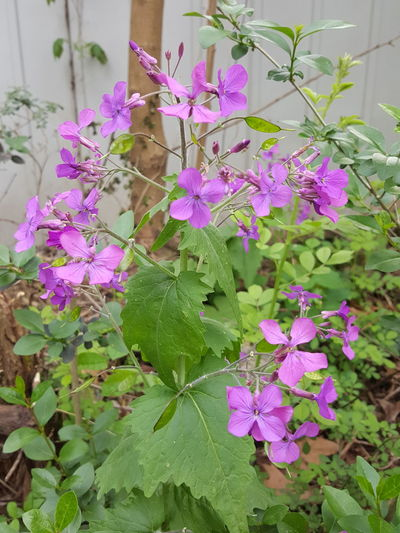 Close up of purple flowers blooming outdoors