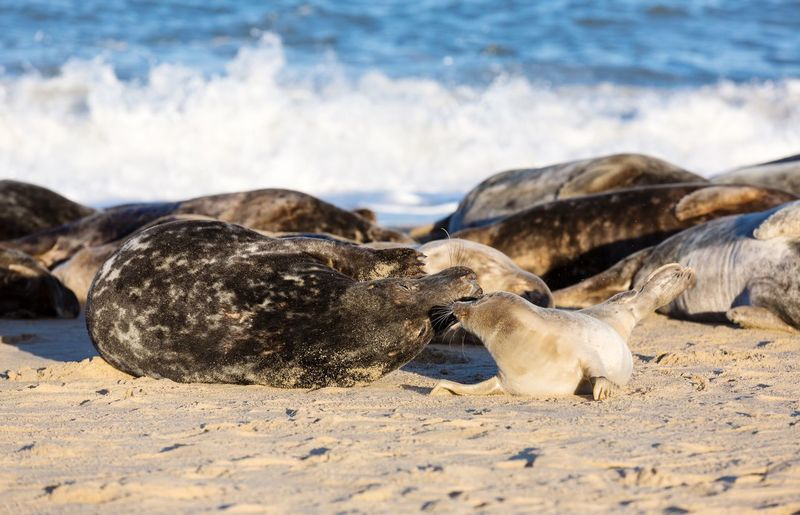 Grey seal with her pup Love ♥ True Seal Female Seal With Pup Phocidae Uk Seals Breeding Season Seaside Seascape EyeEm Selects Beach Sand Animal Nature Group Of Animals Animal Themes Day No People Sunlight Animal Wildlife Animals In The Wild Mammal Sea Beauty In Nature Outdoors Water