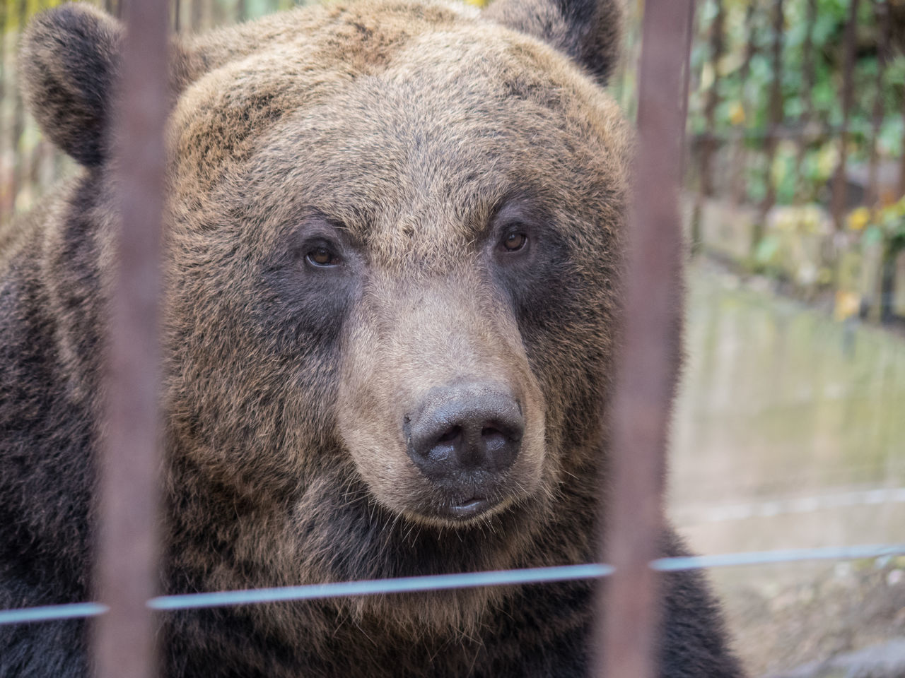bear, one animal, animal themes, animal wildlife, mammal, animals in the wild, grizzly bear, day, no people, outdoors, nature, close-up, looking at camera, portrait