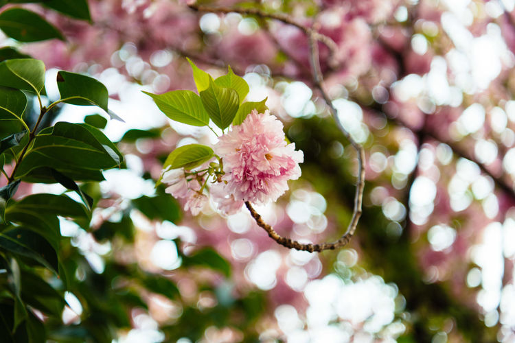 Beauty In Nature Cherry Blossom Cherry Tree Close-up Day Flower Flower Head Flowering Plant Fragility Freshness Growth Inflorescence Leaf Nature No People Outdoors Petal Pink Color Plant Plant Part Pollen Selective Focus Springtime Tree Vulnerability