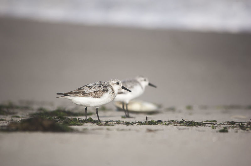 Bird Animal Animal Themes Animals In The Wild Animal Wildlife Selective Focus Vertebrate No People Day Beach Sand Nature Land Outdoors One Animal Full Length Seagull Side View