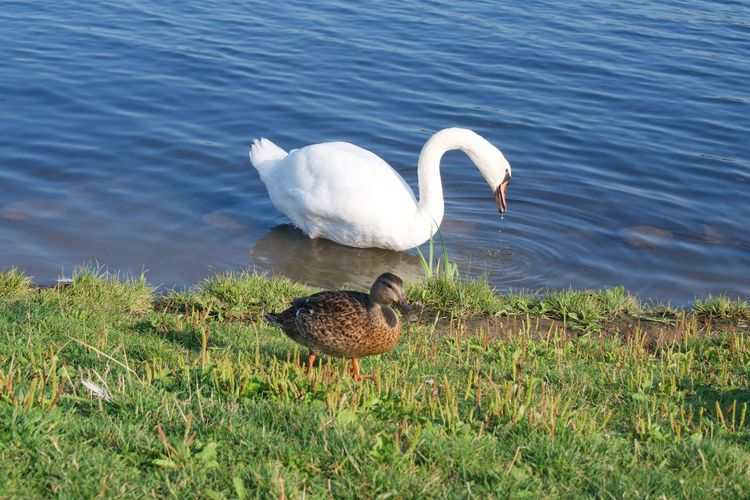 Bird Animal Themes Animals In The Wild Animal Wildlife Vertebrate Water Animal Lake Grass Nature No People Day Group Of Animals Plant Water Bird Swan Zoology Duck Animal Family Beauty And The Beast