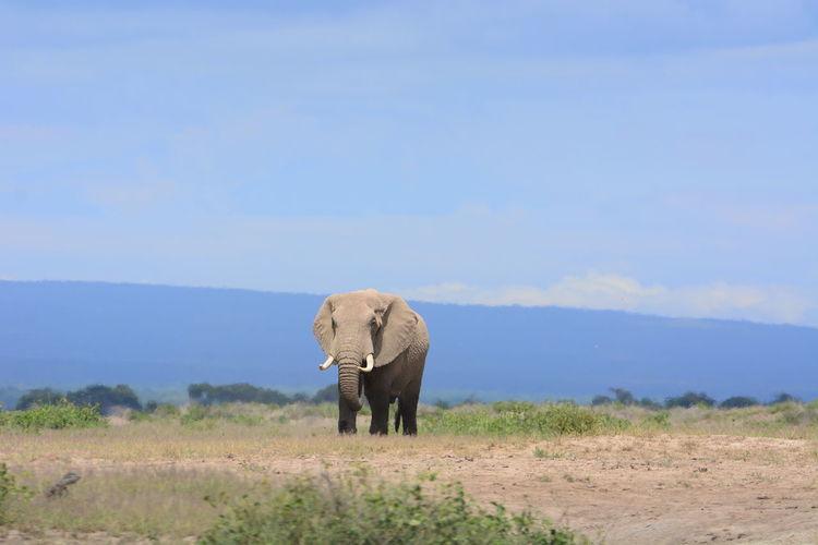 Elephant Walking On Field