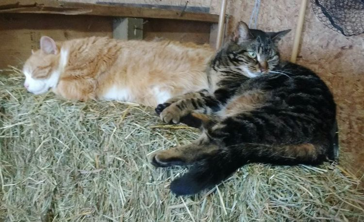 Barn Kitties are lazy too. Barn Straw Hay Cats Kitties Farm Zoo Animals Animal Themes Friends Cats Of EyeEm Cats 🐱 Feline Purring Lazy Resting Sleeping Cat Toronto Islands Toronto Getting Inspired Popular Photos EyeEm Best Shots Canada Coast To Coast Eye4photography  Enjoying Life