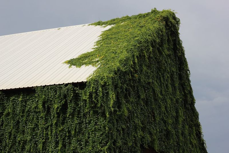 house covered by green vine Roof Green Vine Green Vine Covered House Plant Green Color Growth Sky Nature No People Day Low Angle View Cloud - Sky Beauty In Nature Ivy My Best Travel Photo A New Beginning Capture Tomorrow It's About The Journey