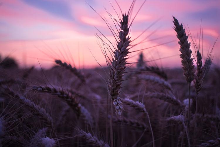 Sunset Purple Landscape Field Multi Colored Sky Outdoors Nature Canon_photos Canon600D Brescia Beauty In Nature Franciacorta