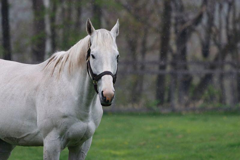 ゴールドシップ Thoroughbred サラブレッド EyeEm Selects Animal Animal Themes Mammal Animal Wildlife Vertebrate Livestock Horse