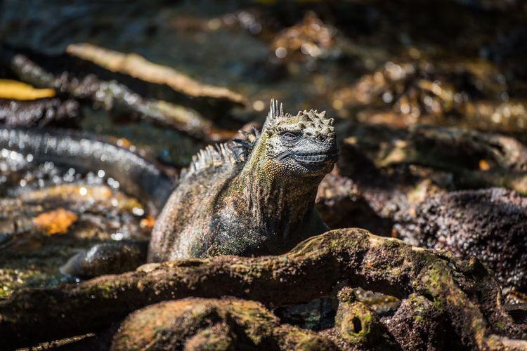 Close-up of marine iguana on roots