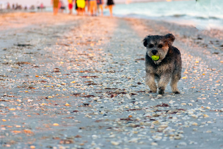 Fetch enthusiast at the beach