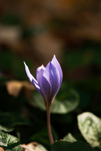 A purple autumn crocus bud begins to bloom. Copy Space Light Autumn Crocus Beauty In Nature Blooming Crocus Crocuses Floral Flower Flower Head Focus On Foreground Fragility Freshness Growth Light And Shadow Nature No People Outdoors Petal Plant Purple Season  Seasonal Spring Springtime
