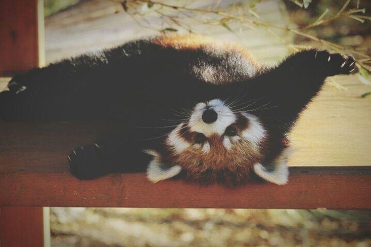レッサーパンダ大好き!!やはり堂本剛にすっごく似ているからだ!! 堂本剛