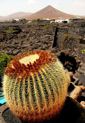 Golden Ball Cactus on Lanzarote with volcanoe Arid Climate Beauty In Nature Cactus Day Desert Growth Mountain Nature No People Outdoors Spiked Lanzarote-Canarias Lanzarote Island Lanzarote Tranquility Mother-in-law's Cushion Schwiegermuttersitz Golden Barrel Cactus Golden Ball Cactus Volcanoes Volcanic Landscape Volcanic Island Volcanic Rock