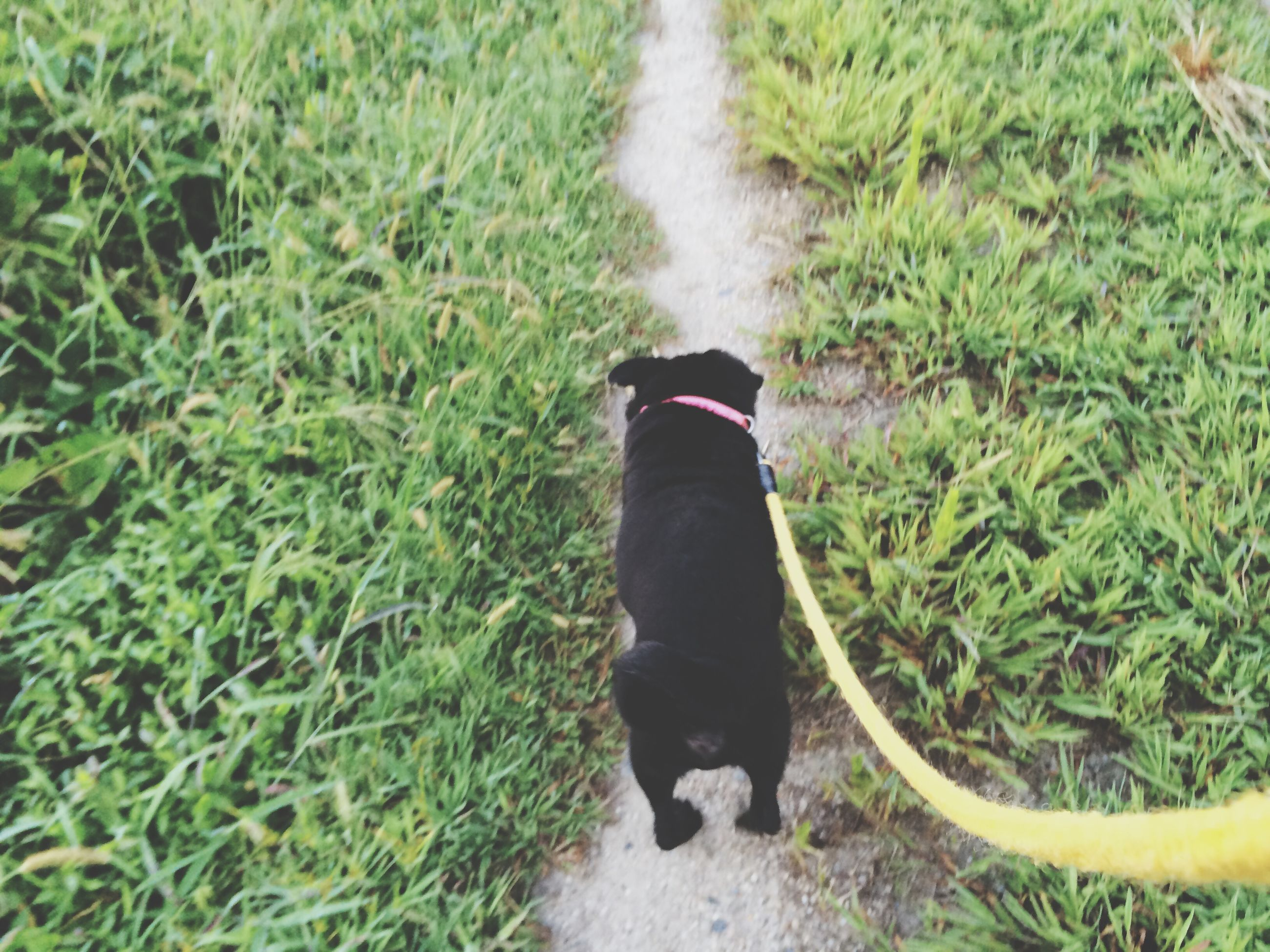 grass, high angle view, field, low section, grassy, green color, standing, pets, person, dog, domestic animals, shoe, growth, plant, lifestyles, day, outdoors, nature