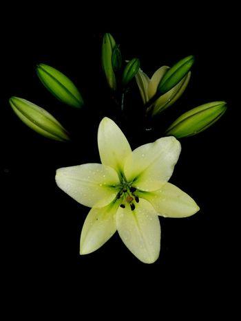 Flower Head Black Background Flower Studio Shot Yellow Petal Close-up Plant Green Color