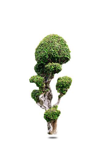 bonsai tree in