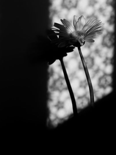 斜陽… setting sun… EyeEm Selects Shadow Gerbera To The Flower World Of Monochrome Olympus Olympus Om-d E-m10 EyeEm Monochrome Black&white Sunlight Sunlight And Shadow Flower Head Flower Close-up Focus On Shadow Long Shadow - Shadow