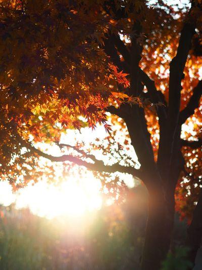 逆光大好き人間なので朝から興奮状態。暫しの間通勤していることを忘れる😅 Sunrise Autumn Maple Maple Leaf Maple Tree Tree Leaf Branch Sunlight Outdoors Tranquility Scenics Morning Light No People Low Angle View Tokyo Street Photography Olympus OM-D E-M5 Mk.II あ、興奮して撮って出ししちゃった。まあ、いっか…