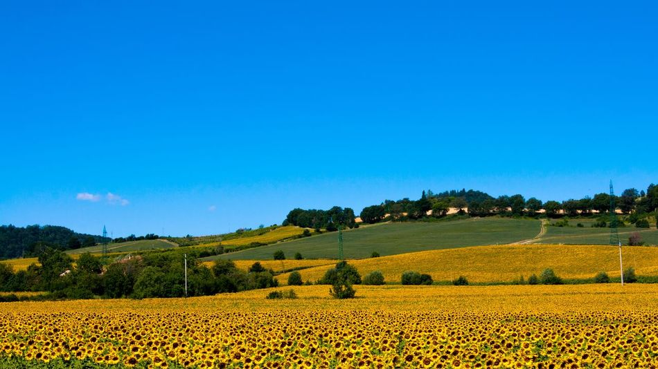 Y. Photooftheday 365project A700 Agriculture Field Rural Scene Farm Crop  Nature Tranquil Scene Beauty In Nature Scenics Yellow Landscape Flower Blue Plant Tree No People Summer Day Outdoors Growth