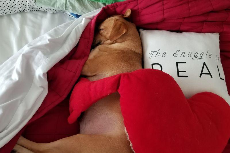 Snuggle The Snuggle Is Real Cute Brown Dog Dog Love Heart Love Sleeping Cute Puppy Dog Dog Photography Asleep Red