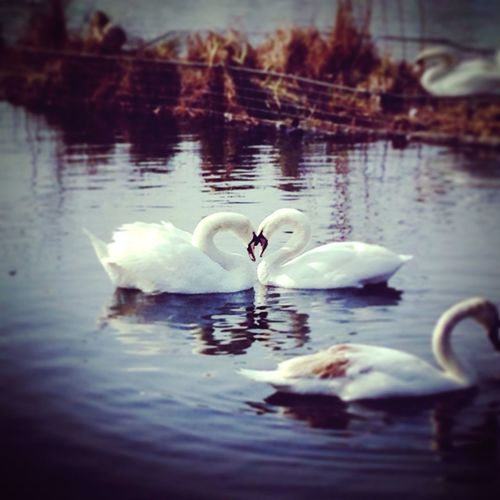Bird Animals In The Wild Water Lake Swan Swans ❤ England🇬🇧 Yeh It's So Beautiful.