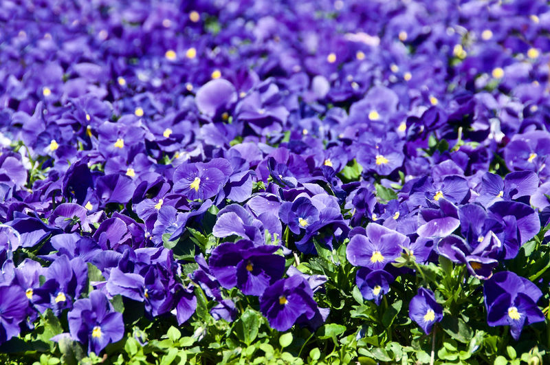 Streetphotography City Cityscape Flower Flower Head Flowers Backgrounds Petal Purple Full Frame Close-up Plant Pansy In Bloom Purple Color Botany Blooming Blossom