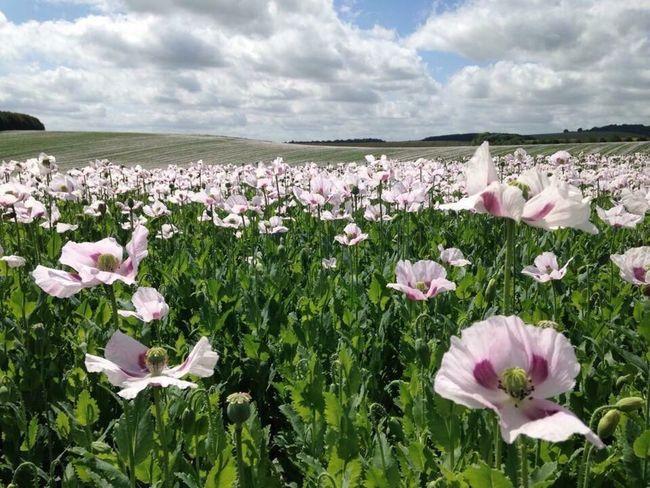 Opium Poppies Field