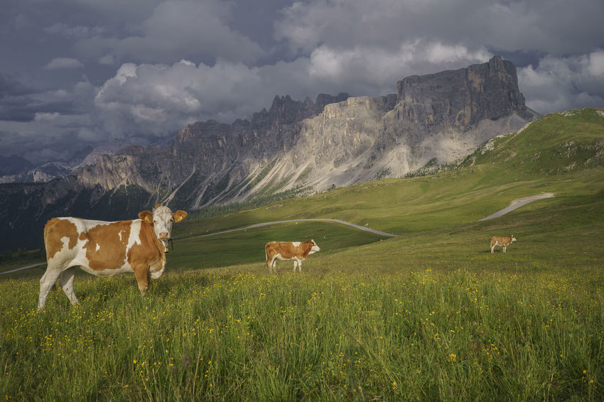 Cow Day Field Grass Grazing Landscape Livestock Mammal Mountain Mountain Range Nature No People Outdoors Sky Tranquility Colle Santa Lucia Valley Travel Destinations Mountain Peak San Vito Di Cadore Dolomites Passo Giau Italy Alps Farm Animal