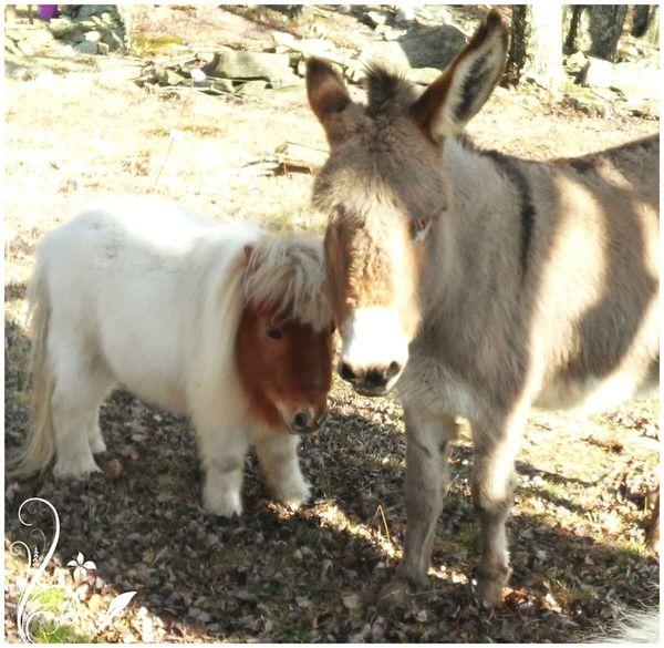 Horse Love Donkey Mini Horse Enjoying Life Cheese!