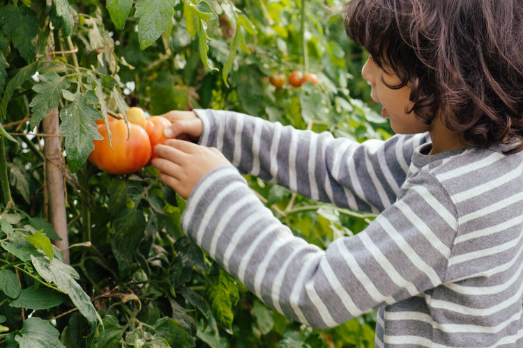 Midsection Of A Boy Picking Tomatoes