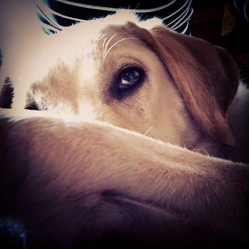 I can't sleep tonight. Dog Sleepy I_miss_bed Labrador midnight
