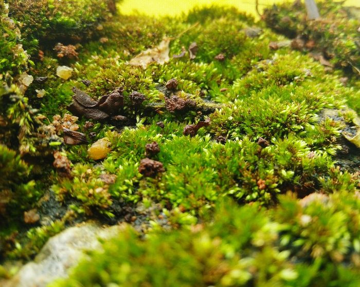 Green moss.. Growth Nature Plant Green Color Beauty In Nature Outdoors Close-up Grass Day Bonsai Green Moss Moss Smallest Plant Smallest Algae OnePlusX Smartphonephotography RBK Plant