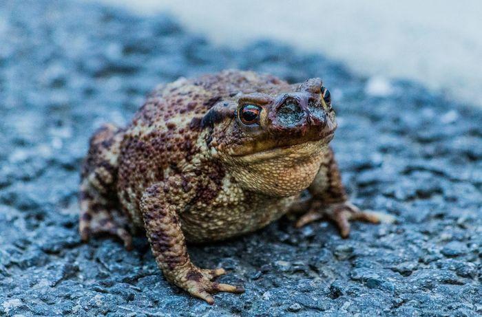 Beestigebeestjes Toad Animal Nature Naturephotography Beautiful Pretty Photo Photography Love Me All_shots Canon