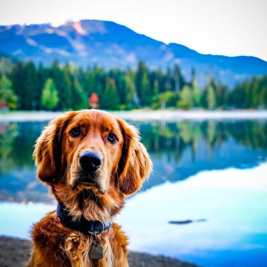 Fancy a swim? Mist Mountain Redsetter