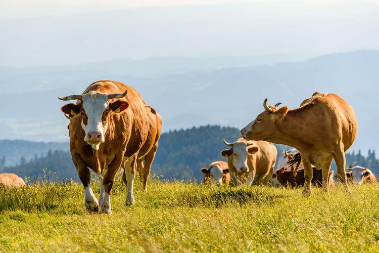 Herd of cows on field