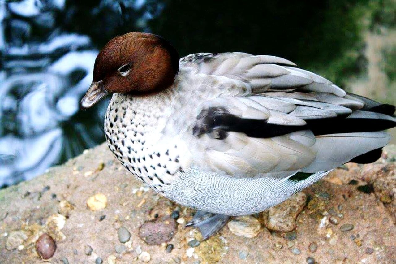 animal themes, bird, animals in the wild, one animal, animal wildlife, close-up, day, no people, outdoors, nature