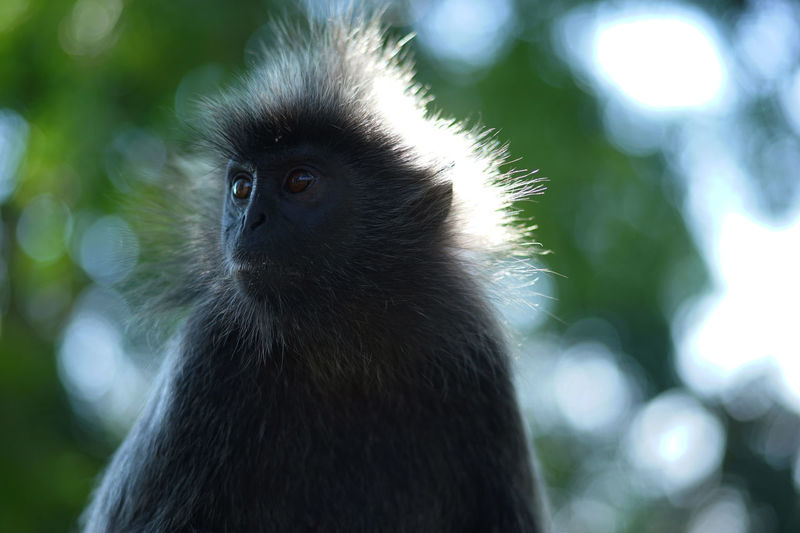 Silvered-leafe monkey portrait and the sun shines on his head Portrait Tree Monkey Nature One Animal Silvered Outdoors Animal Wildlife Close-up Beauty In Nature Branch No People Mammal Sitting Potrait Day Animals In The Wild Food Eating Bokeh Photography Park Malaysia Feather
