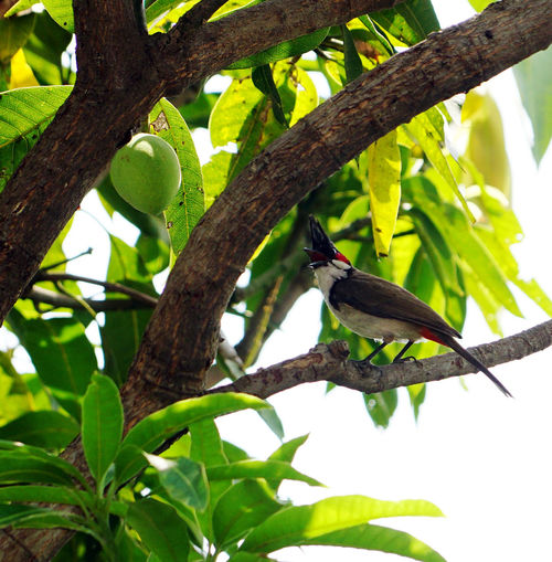a red-whiskered bulbul in mango tree. Red-Whiskered Bulbul Animal Animal Themes Animal Wildlife Animals In The Wild Bird Branch Bulbul Family Crested Bulbul Day Green Color Growth Leaf Low Angle View Nature No People One Animal Outdoors Perching Plant Plant Part Pycnonotus Jocosus Tree Vertebrate