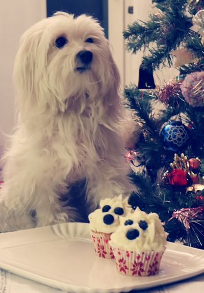 Elsa, muffin & Christmas time MR7 Puppy Photography Cute Pet Animals Photooftheday Elsa Christmas Canon Chisifermaèperduto #muffin Sweet Food Sugar White Tree Food Stories Dog Pets Animal One Animal Domestic Animals Animal Themes Holiday - Event first eyeem photo