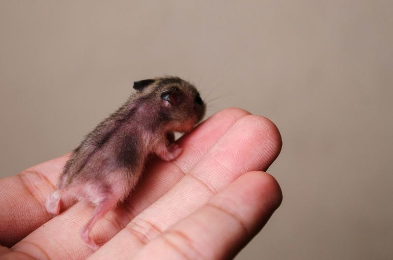 Hamster Baby Hamster Nature Hand EyeEm Selects