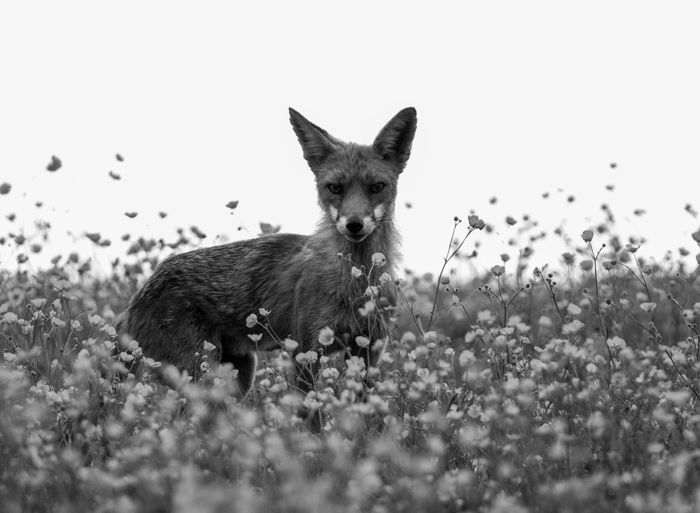 Portrait Of A Fox In Flowerbed