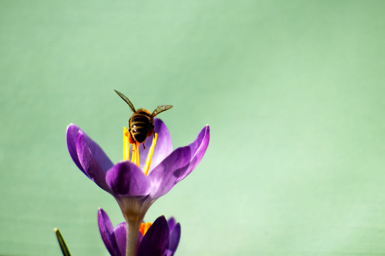 Honey bee on a purple crocus flower - crocus tommasinianus on a green background. bee pollinating