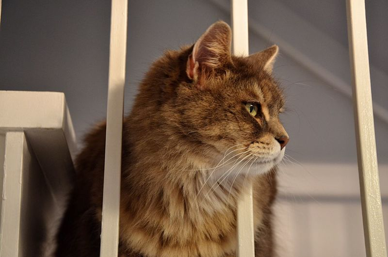 Close-up of maine coon looking away at home