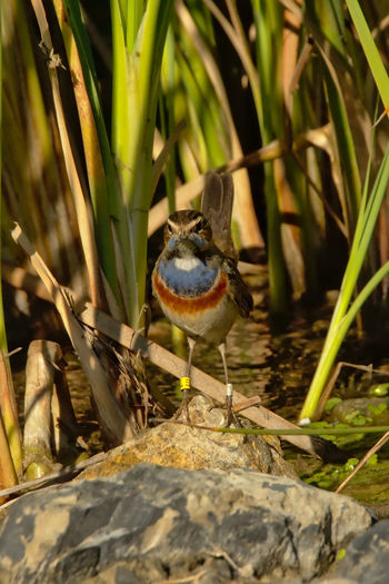 Bluethroat sitting in the reed of Guadalhorce river, frontal view - Luscinia svecicae Bluethroat Bird Luscinia Svecica Robin Reed Guadalhorse Sitting Animal Wildlife Portrait Nature Animal Wildlife Outdoors Birding Environment Colorful One Animal Animals In The Wild Water Plant Bird Photography Guadalhorce Animal Themes Green Color Frontal View