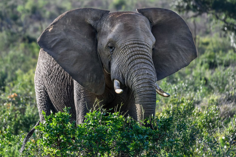 Animal Themes Animal Animals In The Wild Elephant Animal Wildlife Mammal One Animal Vertebrate Day Safari Animal Trunk No People Land Tusk Nature Field Herbivorous Outdoors African Elephant Animal Head  Beauty In Nature Africa African Safari
