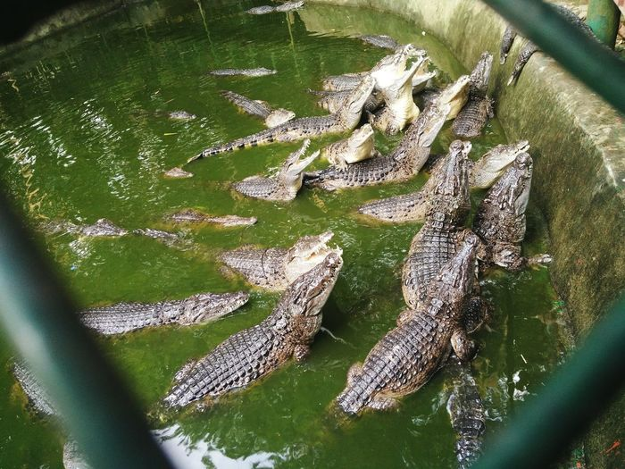 an encounter with the crocs Crocodiles Reptile Reptile World Animal Wildlife Animals Water High Angle View Close-up Green Color