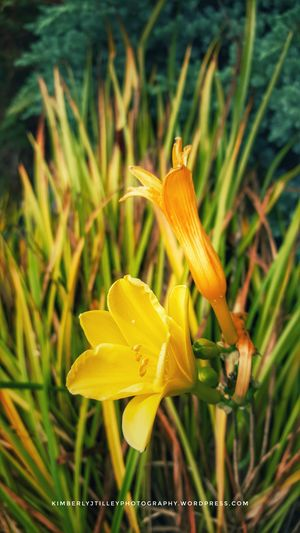 Day Lily in the garden. Paint The Town Yellow Plant Nature Flower KimberlyJTilley Petal Outdoors Leaves Garden