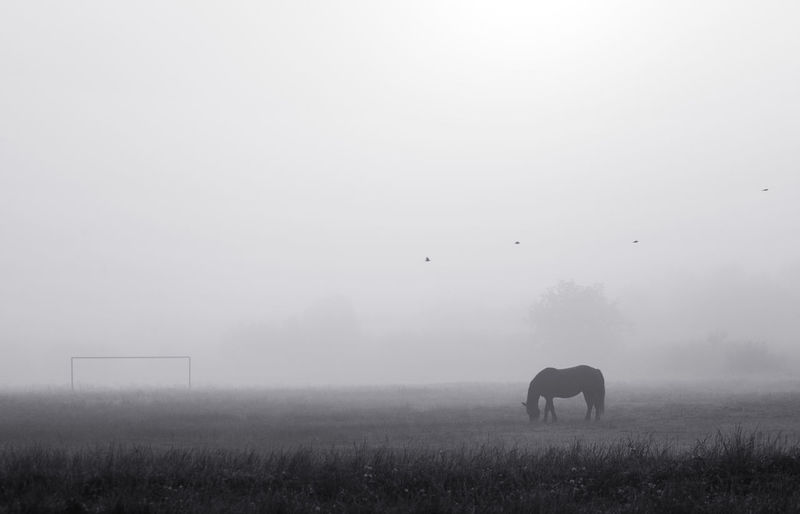 Horse from countryside of Brasov, Romania. Farm Field Nature Rural Silhouette Sunlight Animal Animal Themes Beauty Beauty In Nature Birds Blackandwhite Domestic Animals Fog Foggy Morning Grass Horse Landscape Mammal One Animal Outdoor Single Sky Sunrise Black And White Friday