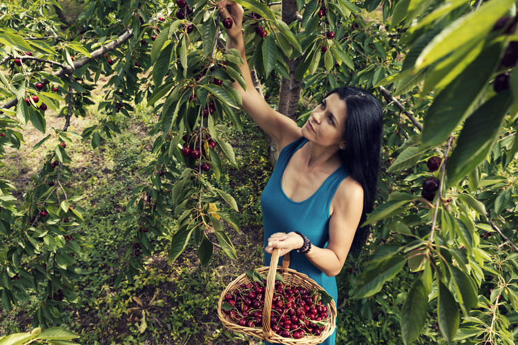 Smiling woman holding basket while harvesting cherries on trees